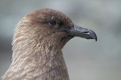 Skua, pirate of the Antarctic Royalty Free Stock Photo