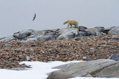 Skua and Polar Bear. A skua attacking a polar bear, in the archipelago of Svalbard Royalty Free Stock Photos