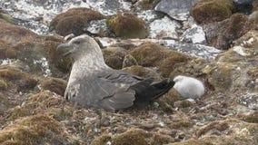 Skua polar do sul fêmea que senta-se em um ninho ao lado de que um pintainho fofo se senta filme