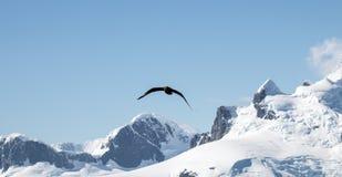 Skua polar sul em voo fotografia de stock
