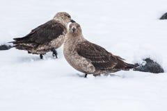 Skua polar sul que está na neve, a Antártica dos skuas de Brown imagem de stock