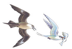 Skua and seagull_1 Stock Photography