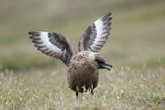 Skua wings wide. Arctic Skua displaying with wings spread Stock Images