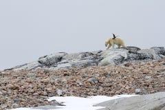 Skua y oso polar Fotografía de archivo libre de regalías
