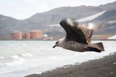 Skuas, die auf Täuschunginsel fliegen Lizenzfreie Stockfotos