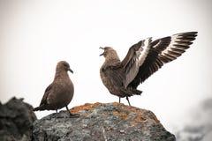 Skuas relations in Antarctica Stock Photography