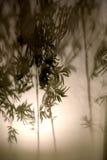 Skugga av bambu Royaltyfri Bild