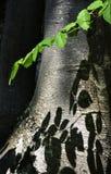 Skugga av bokträdsidor på stammen Arkivbild
