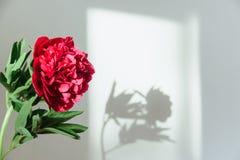 Skugga av en röd pion vid naturligt ljus Fotografering för Bildbyråer
