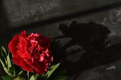 Skugga av en röd pion vid naturligt ljus Arkivbilder