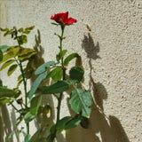 Skugga av en röd ros royaltyfria foton