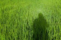 Skugga av män på risfält arkivbilder