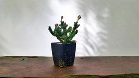 Skugga av trädet på den vita väggen och kaktuns i växtkruka på träträdgårds- bänk Royaltyfri Bild