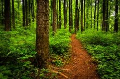 Skugga till och med högväxta träd i en frodig skog, den Shenandoah nationalparken Royaltyfri Fotografi