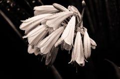 Skuggad bukett av den Clivia cyrtanthifloraen Royaltyfri Foto