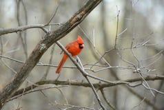Skuggad manlig kardinal Perching On Branch Fotografering för Bildbyråer