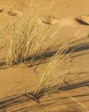Skuggagräs som svänger med vinden i sanden av dyn royaltyfri foto