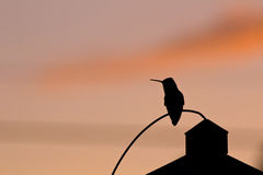 Skuggakontur av kolibrin på solnedgången Arkivbilder