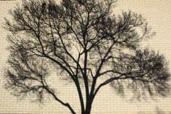 Skuggamodeller av trädfilialer på en suddig bakgrund för vägg av en vägg med trädet skuggar på det Royaltyfri Foto