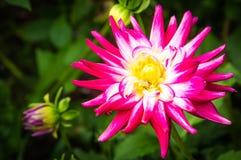 Skuggar trädgården för växten för rosa färger för bakgrund för vita blommor för dahlian blom- Arkivfoton