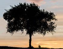Skuggat träd på solnedgången, orange himmel, slut upp, landskap royaltyfri fotografi