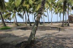 Skuggig kokosnötdunge i Hawaii fotografering för bildbyråer