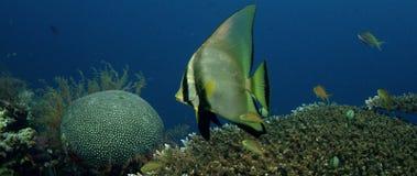 skuggning batfish Royaltyfri Bild