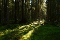 Skuggor och ljus av solljus på gryning på en mossa av en barrskog Royaltyfria Foton