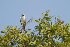 skuldra svart drake för fågel Arkivbilder