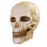 Skull. An old isolated human skull on the white background Royalty Free Stock Photo
