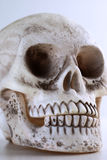 Skull. A close up of a human skull for Halloween royalty free stock photo