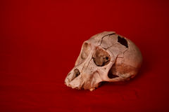 Skull. A monkey skull with a hole in the head n a red background Stock Images