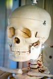 Skull. White skull for medicine students Stock Photography