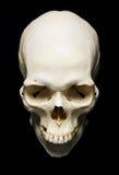 Skull royalty free stock image