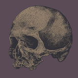 Skull. Drawing style. vector illustration Royalty Free Stock Photo