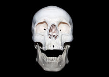 Skull. A faithful anatomical reproduction of an human skull in an laughing or screaming position stock image