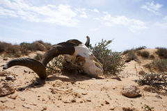 Skull. A skull of a sheep in the desert of Libya Royalty Free Stock Photo