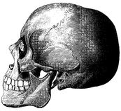 Skull-2 Royalty Free Stock Photography