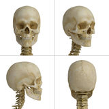 Skull. Four views of the human skull Stock Photos