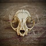 Skull. A cat skull on a wood Royalty Free Stock Image