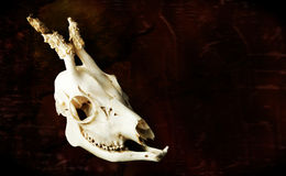 Skull. Scary mammals skull on hell background - illustration Stock Photography