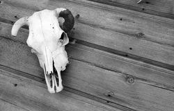 The Skull Cow Fossil Passed Away Stock Image