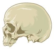 Skull. Grey skull with teeth in profile Royalty Free Stock Images