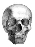 Skull. Drawn skull. View from front Stock Photos