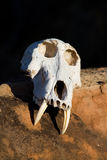 Skull. The skull of a massive baboon male with long canines Stock Image
