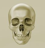 Skull, 3d render. Skull of an adult on a gray background, front view, 3d render Royalty Free Stock Photo