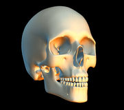 Skull. 3D render of a skull Royalty Free Stock Image