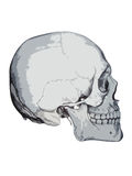 Skull. Medical illustration of skull Royalty Free Stock Images