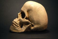 Skull. Model of a human skull royalty free stock image