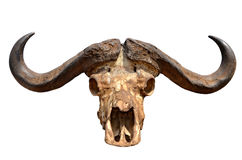 Skull of African Buffalo Isolated on White Stock Image